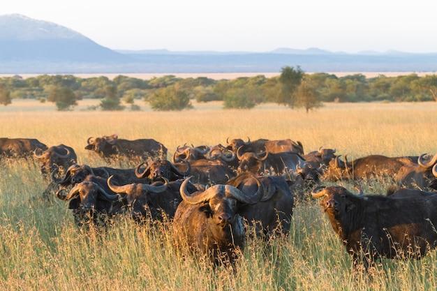 Большое стадо африканских буйволов в серенгети. танзания
