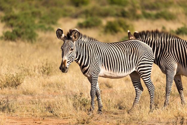 ケニアのサバンナでシマウマが放牧している大きな群れ