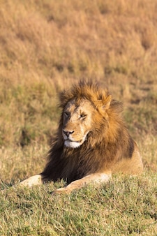 Большой лев отдыхает в саванне масаи мара