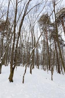 Большое количество голых лиственных деревьев в зимний период