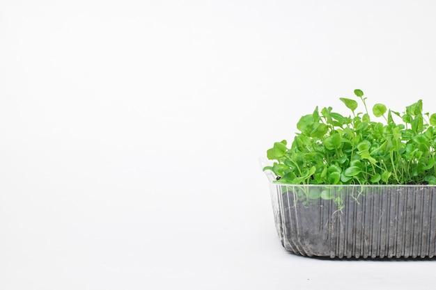 プラスチック容器に入った多数の苗。家で植物を育てる。