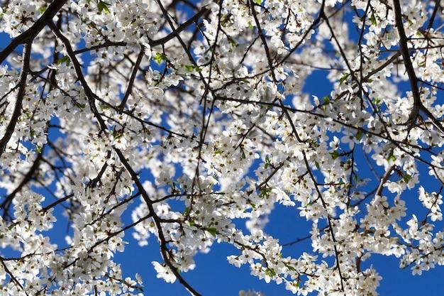 Большое количество белых цветов на ветках черемухи в ожидании нового урожая