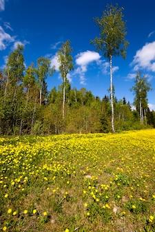 春に撮影された黄色いタンポポがたくさん