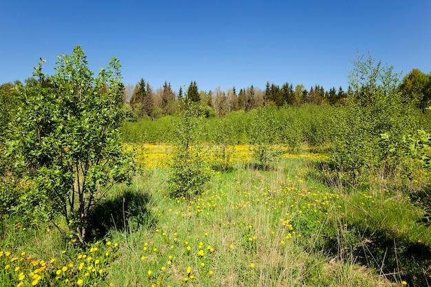 봄 시즌에 촬영 된 많은 수의 노란 민들레
