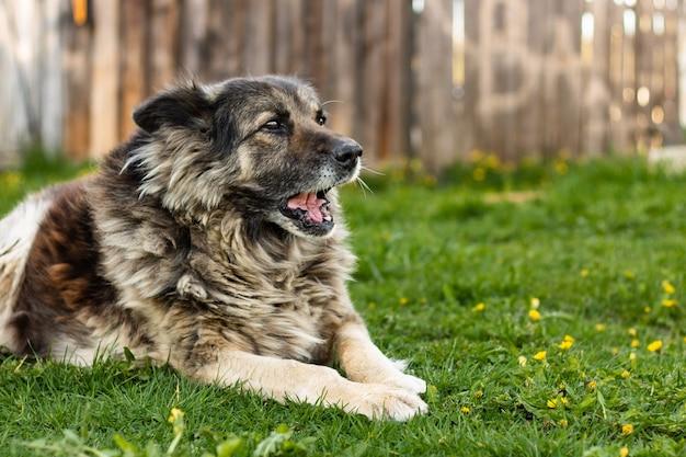 Большая беспородная добрая собака лежит на траве и лает на фоне старого деревянного забора.