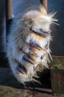 Большая лапа белого медведя с огромными когтями просутана сквозь железные прутья клетки. грустное животное в неволе. селективный акцент на когтях.