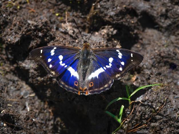 Большая фиолетовая бабочка императора (apatura ilia) сидит на земле в солнечный летний день