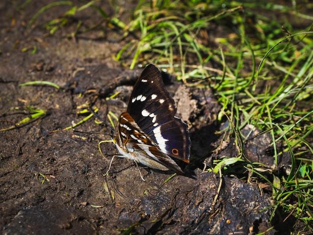 大きな紫皇帝蝶