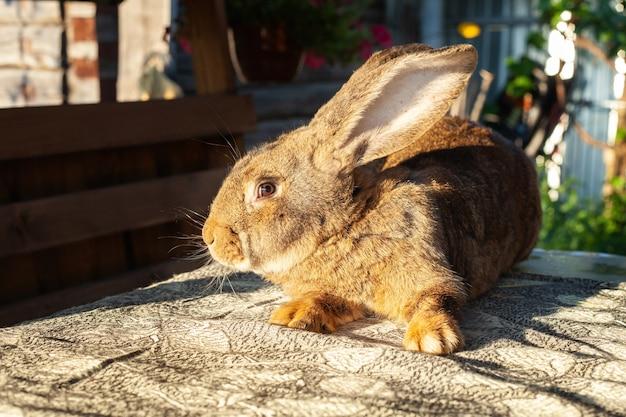 Большой красный кролик с стоячими ушами сидит на столе и настороженно смотрит.