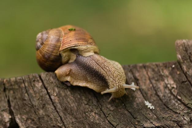 큰 달팽이가 비가 온 후 숲속의 통나무를 따라 기어다닌다