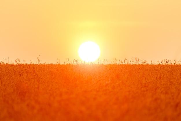큰 태양 디스크가 밀밭에 앉아 있습니다. 호밀의 신선한 작물입니다. 밝은 햇빛 아래 밀밭입니다.