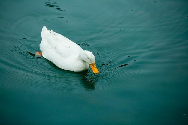 池で泳ぐ大きな白いアヒル