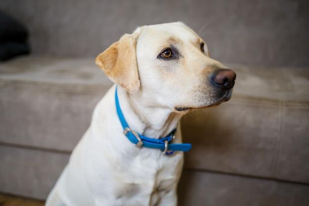 大きな白いラブラドールがソファ、家の中の犬、アパートに横たわっています。男のペットの友達