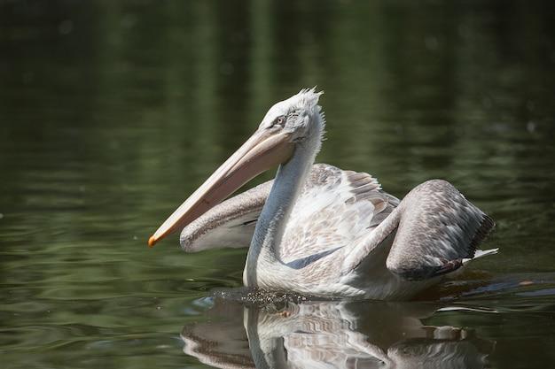 大きな白いペリカンが池で泳ぎ、魚を釣る