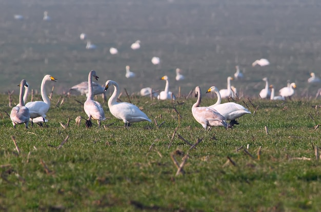 冬コムギの畑にオオハクチョウ(cygnus cygnus)が冬に大量に蓄積する