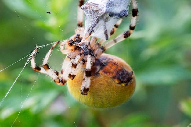 Большая желтая самка паука araneus в паутине с добычей. удачной охоты и паучьей пищи. страшный паук на хэллоуин