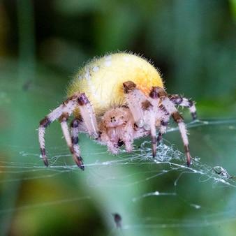 Большая желтая самка паука araneus в паутине с добычей. удачной охоты на паука. страшный паук на хэллоуин