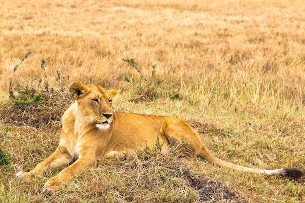 大きな若い雌ライオンが草の上に横たわっているケニアアフリカ