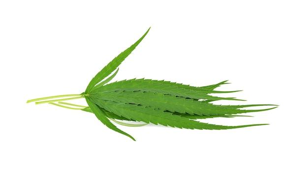 白の上に分離されたマリファナ(大麻サティバ)の葉