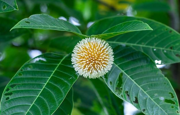 리히하르트 소나무 또는 녹색 잎이 있는 카담 꽃이 나무에 가까이 있습니다.