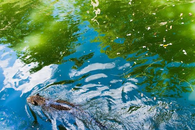 Леопард плавает в воде