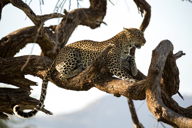 ヒョウは木の枝にかかっています