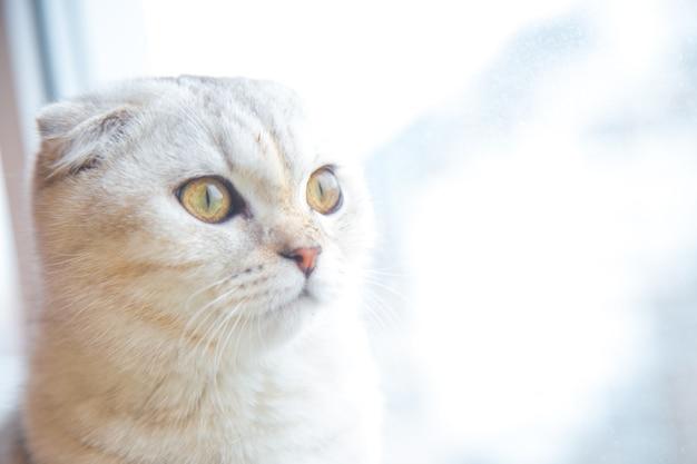 茶色の縞模様の軽いブリティッシュ猫が窓辺に座って窓の外を見ています。 。高品質の写真