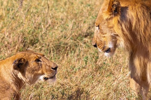 マサイマラケニアアフリカのライオンとライオン