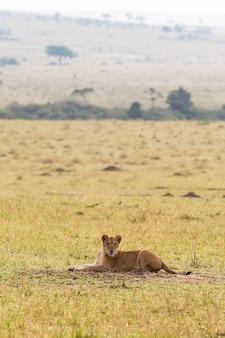 マーサイマーラケニアの草サバンナで休んでいるライオンの子