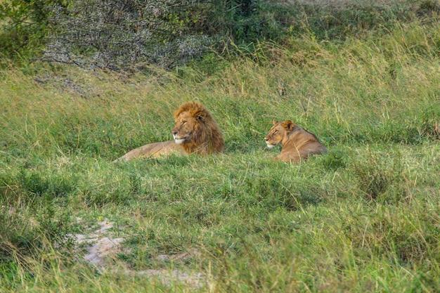 Львица и лев в национальном парке масаи-мара, дикие животные в саванне. кения