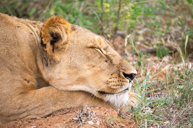 雌ライオンはサバンナのグラで眠っています