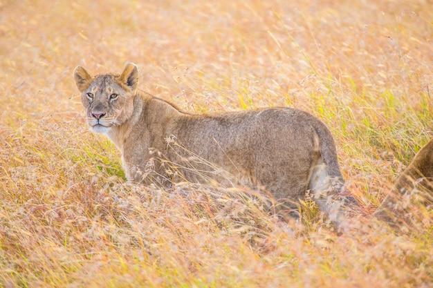 Львица смотрит налево в национальном парке масаи мара, дикие животные в саванне. кения