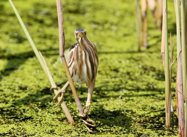 Маленькая выпь сидит на лужайке в зеленом травянистом пруду.