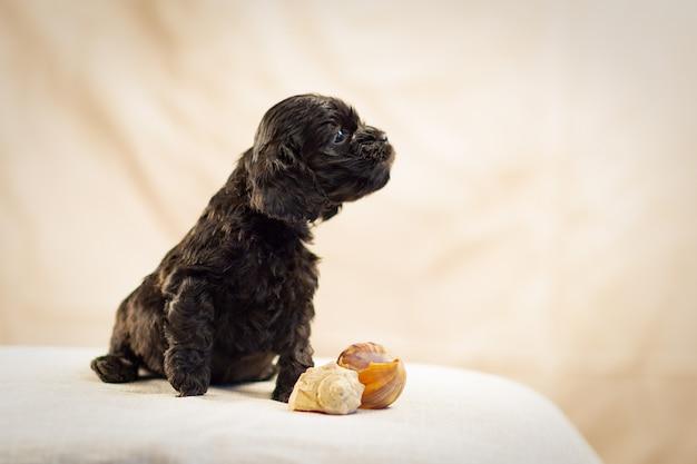 작은 검은색 아메리칸 코커 스패니얼 강아지가 옆을 바라보고 조개껍데기가 그 옆에 누워 있습니다.