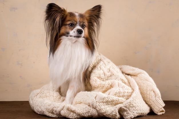 큰 니트 스웨터를 입은 작은 강아지