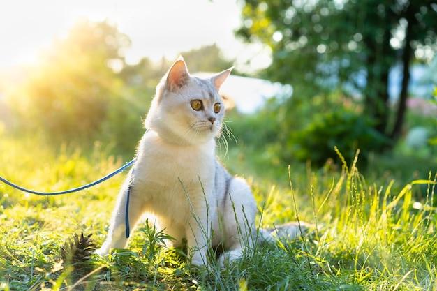 小さな女の子は、動物への自然の愛の中で大きな白いスコットランドのまっすぐな猫を歩きます