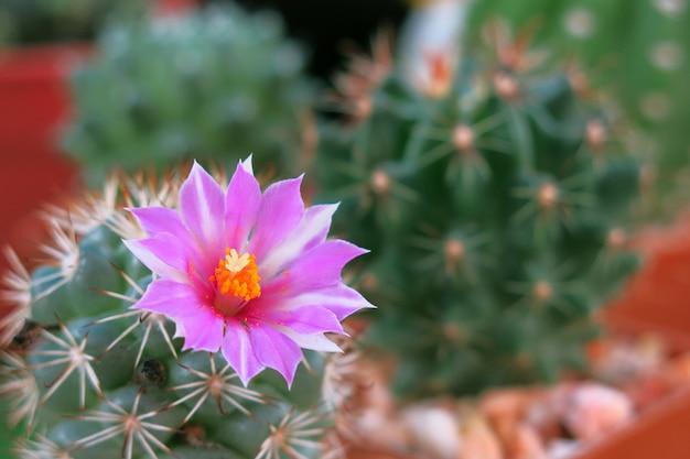 Маленький зеленый кактус с розовым цветком в полном расцвете