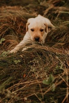 Маленький счастливый белый щенок лабрадора, лежащий на природе в зеленой траве