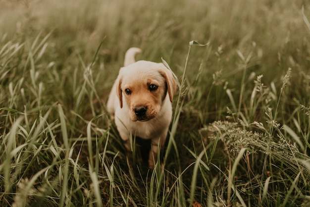 Маленький счастливый белый щенок лабрадора гуляет на природе в зеленой траве