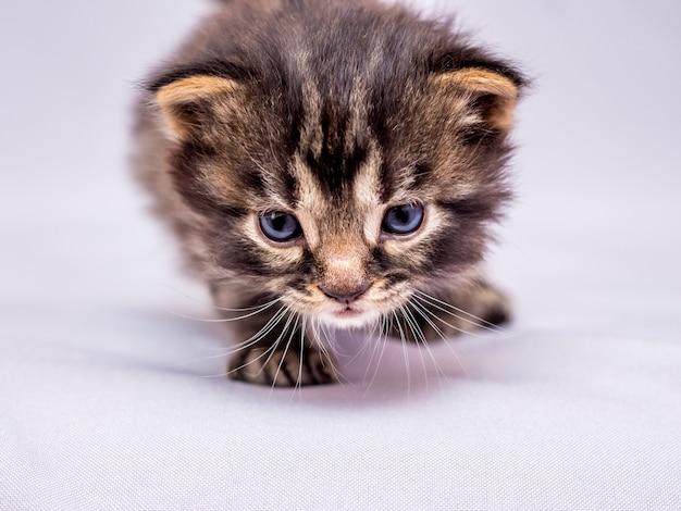 작은 새끼 고양이가 적에게 몰래 다가갑니다. 사냥에 포식자. 확대_