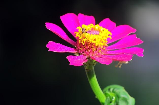 Маленький паук на розовом цветке