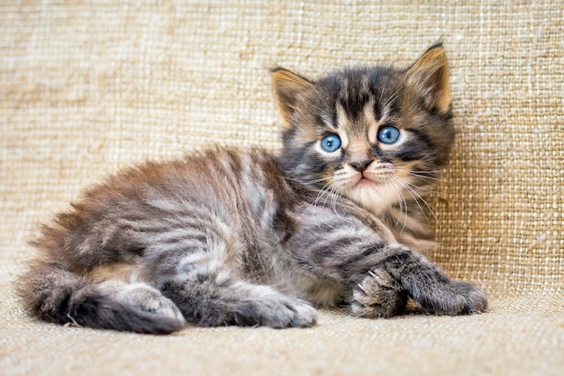 小さな縞模様の子猫がゲームの後に休んでいます_
