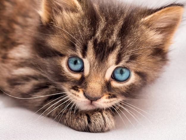 파란 눈을 가진 작은 줄무늬 고양이가 낳고 주인을 쳐다 본다.