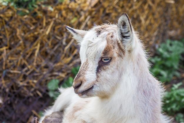 Маленькая белая коза отдыхает на пастбище фермы в жаркий летний день_