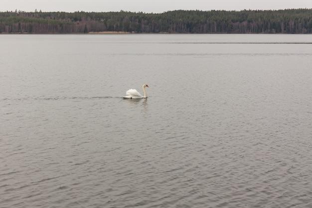 スウェーデン中部の湖で孤独な白鳥が泳ぐ