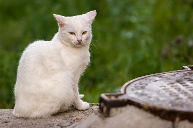 一人の白い猫が座って、マンホールの蓋の近くのカメラをのぞき込む