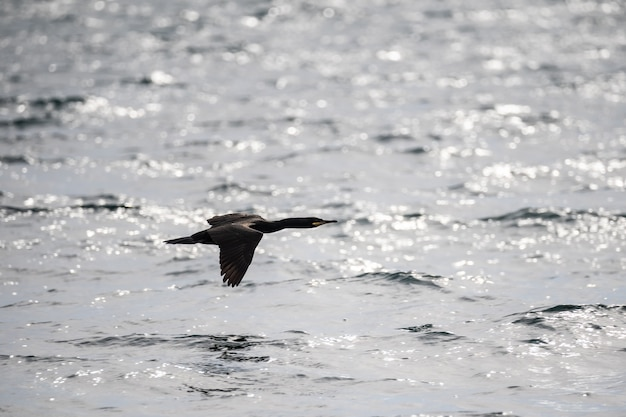 외로운 앞머리 가마우지가 물 위로 날아갑니다. 바다 위를 날고 있는 검은 새. 해양 생물. 확대.