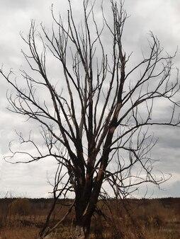 Одинокое большое сухое дерево без листьев на сером небе без солнца на весь кадр