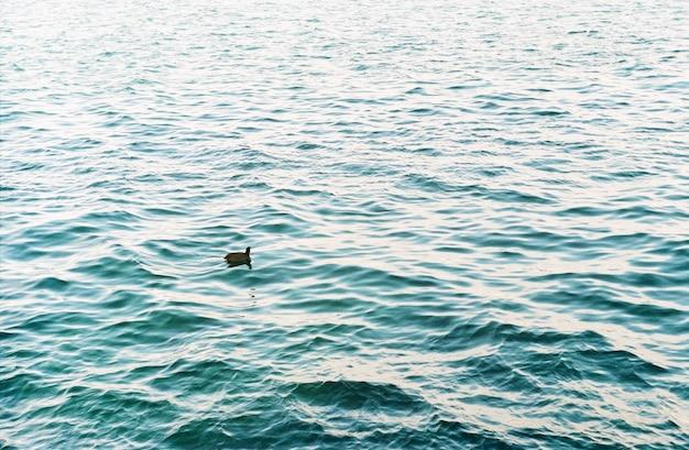 외로운 작은 오리가 바다에서 헤엄친다