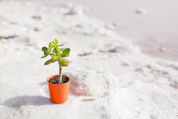 鍋の孤独な植物が周りの白い塩の湖に立っています。それは成長、孤独、そしてサポートのコンセプトです。